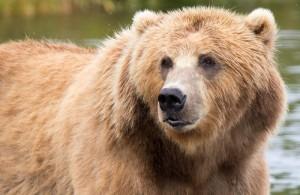 Braunbär Alaska